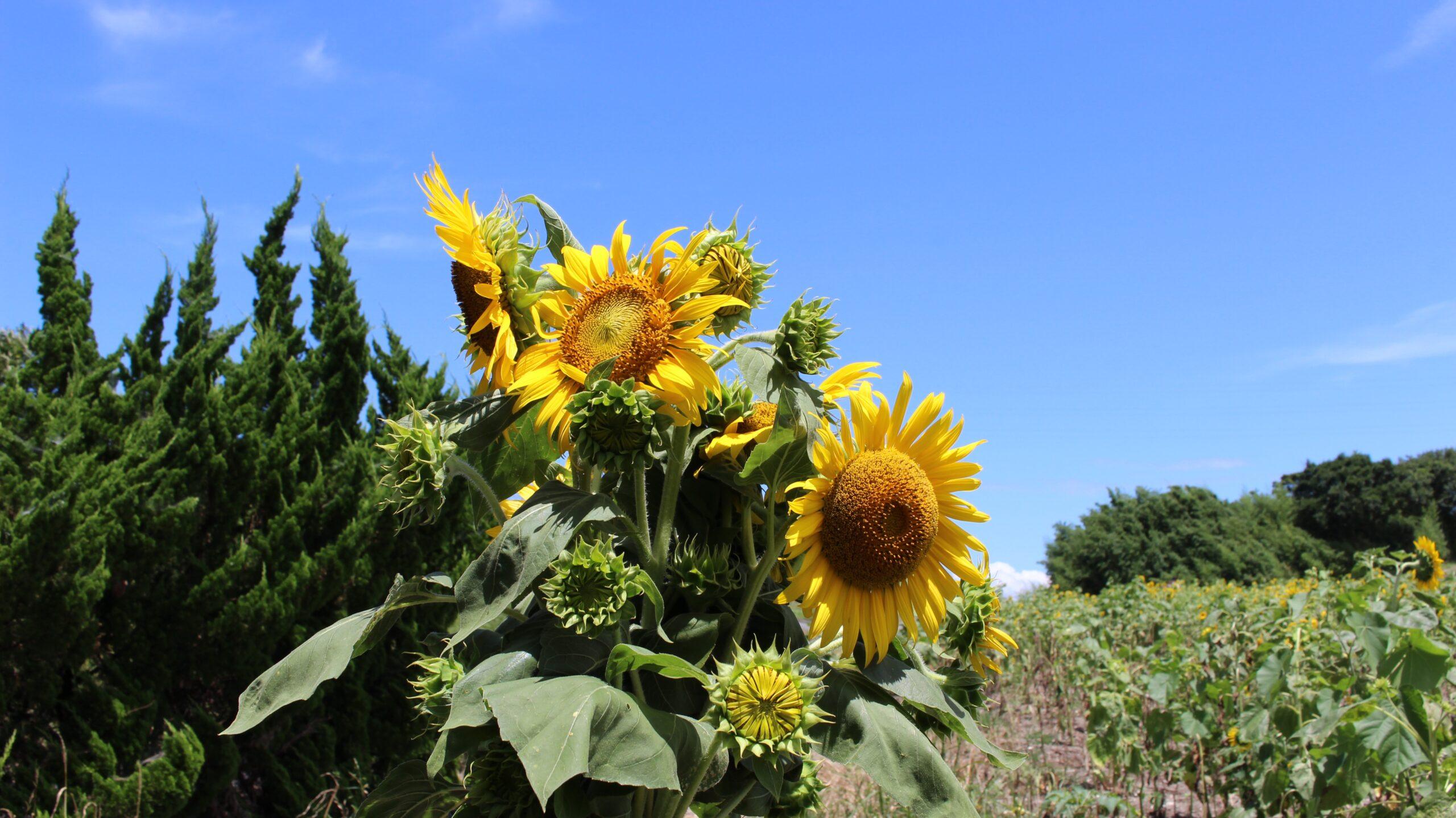 観光農園花ひろばで花摘み体験をした写真