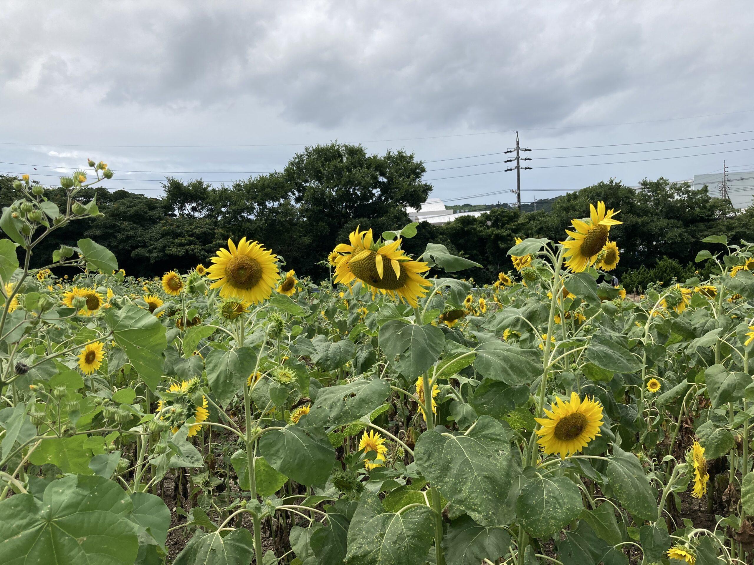 観光農園花ひろばひまわり畑の写真