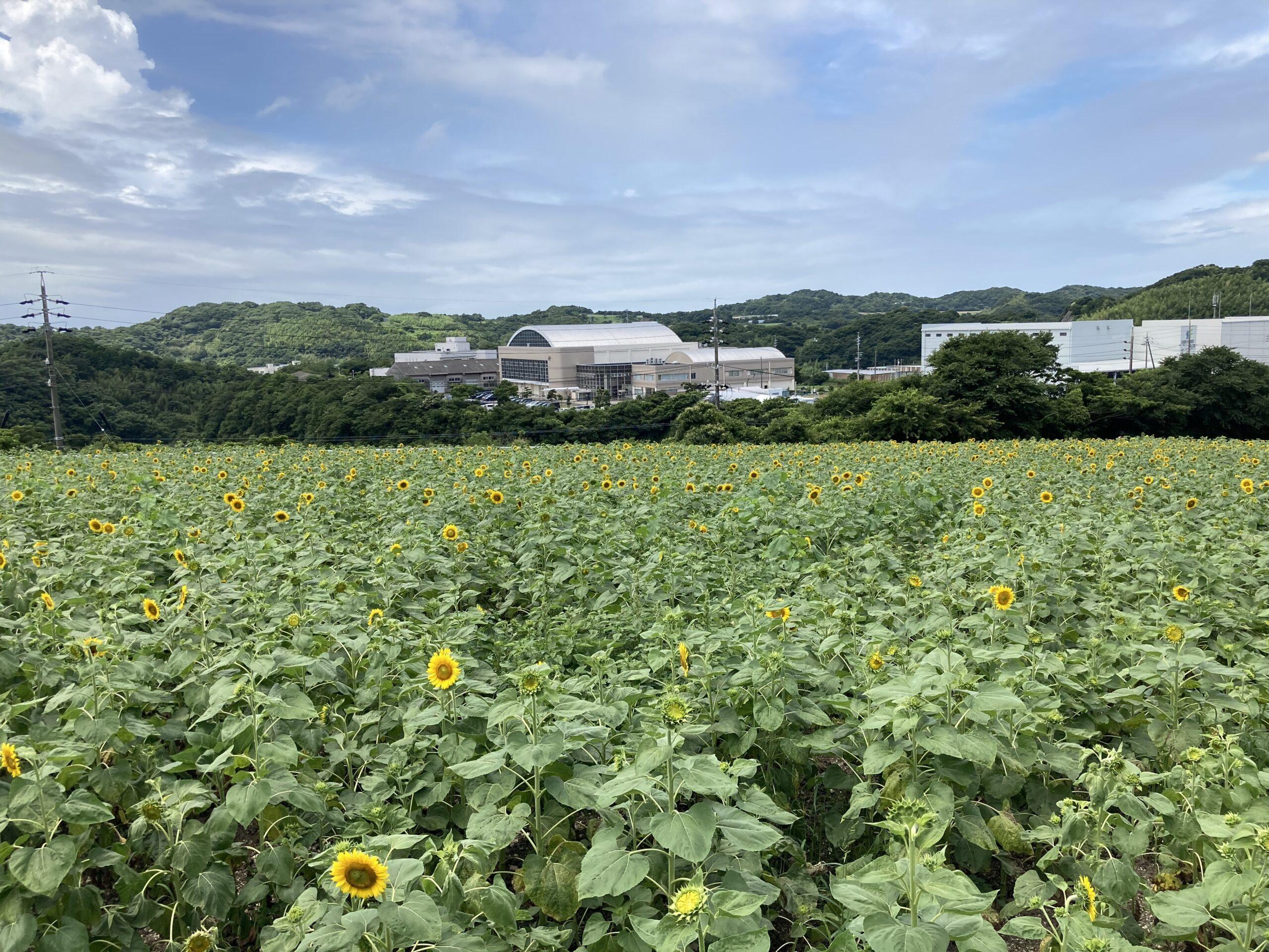 観光農園花ひろばのひまわり畑の写真